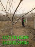 春季麻核桃树喷施石硫合剂预防病虫害